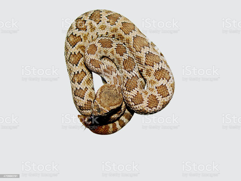 Baby Rattler royalty-free stock photo