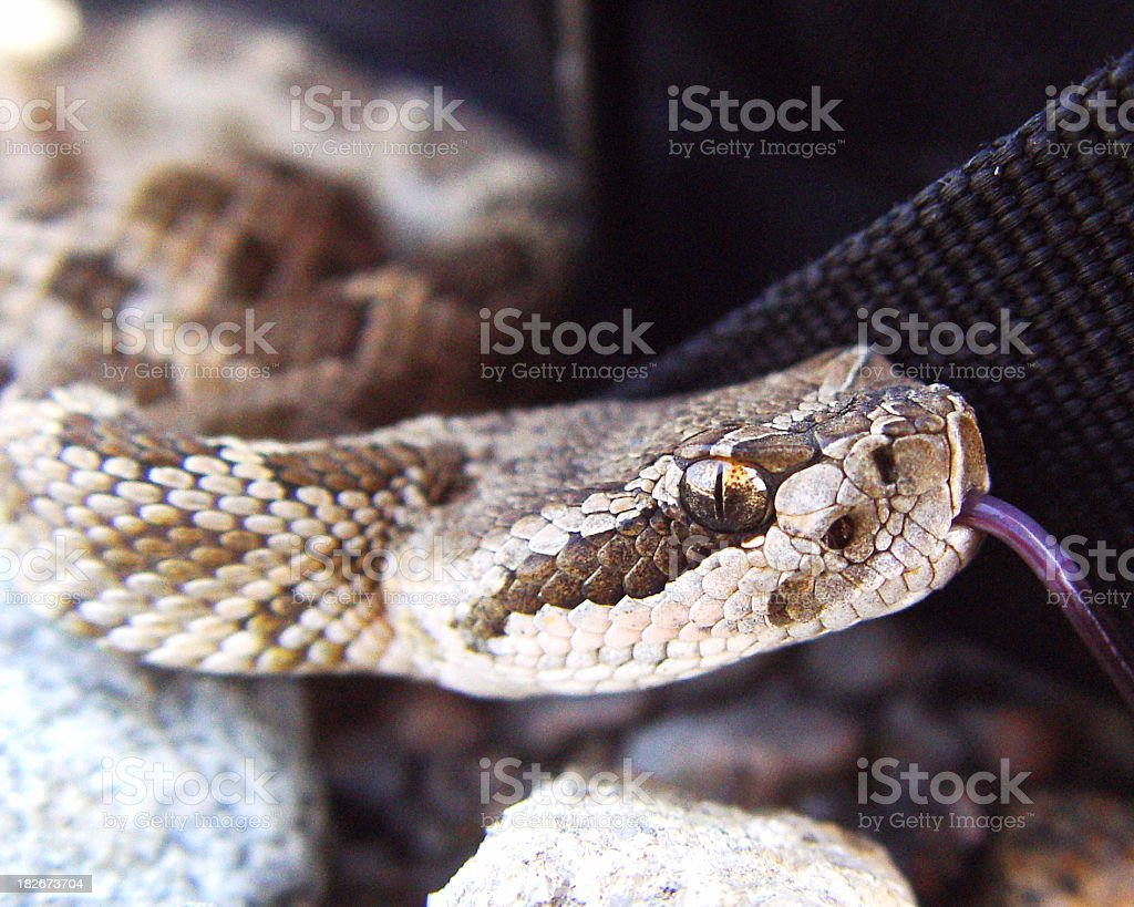 Baby Rattlesnake royalty-free stock photo