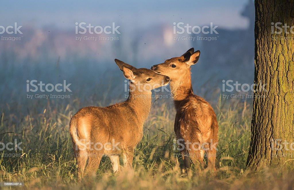 Baby Red Deer in morning light stock photo