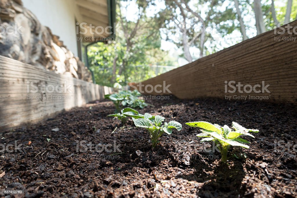 Baby Red Potato Plants in Planter Box by House stock photo
