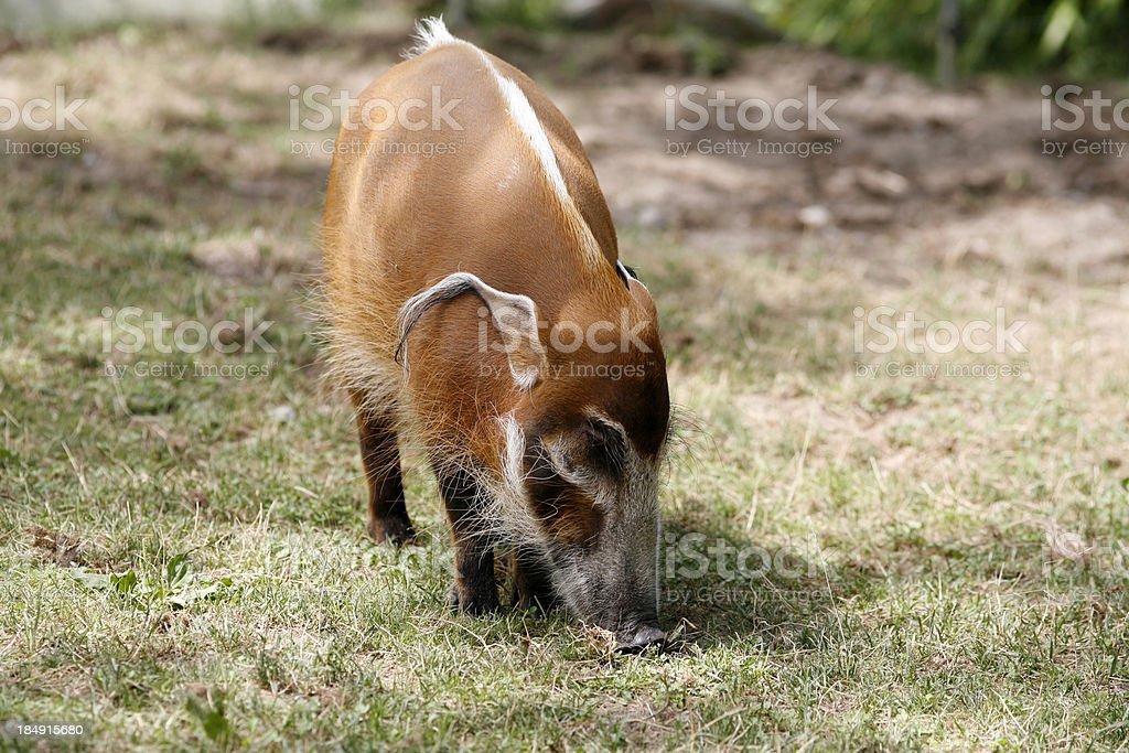 Baby Red River Hog royalty-free stock photo
