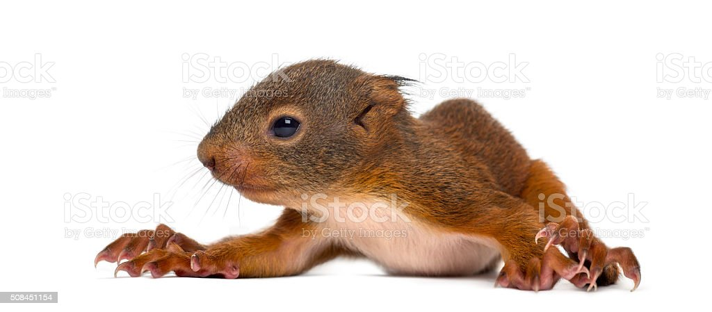 Baby Red squirrel in front of a white background stock photo