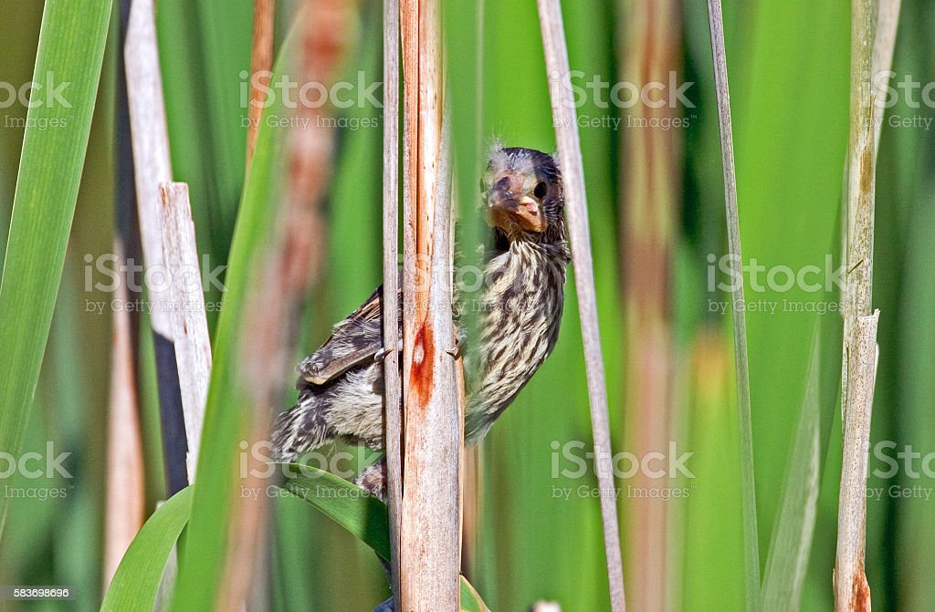 Baby Red Winged Blackbird Hiding in the Reeds stock photo