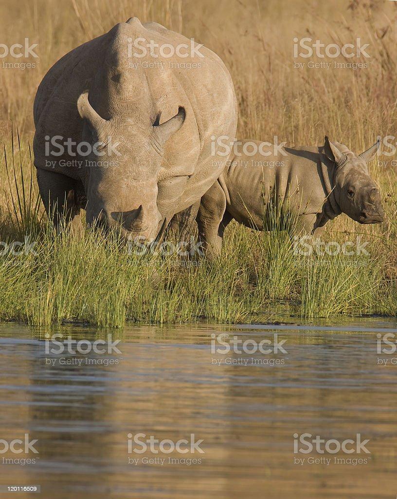 baby rhino royalty-free stock photo