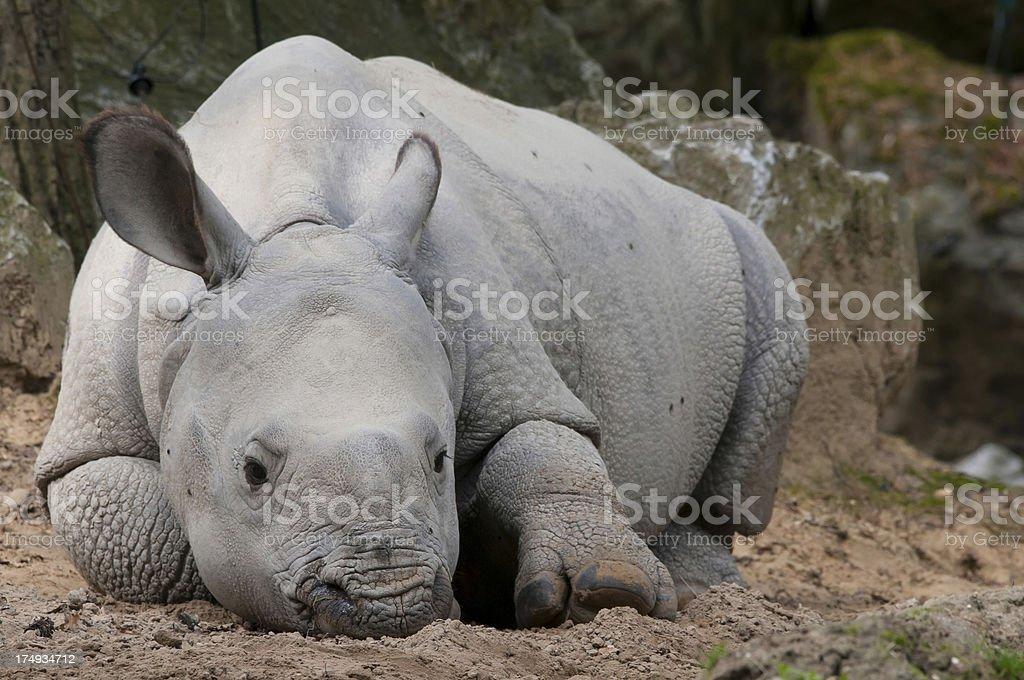 baby rhino stock photo