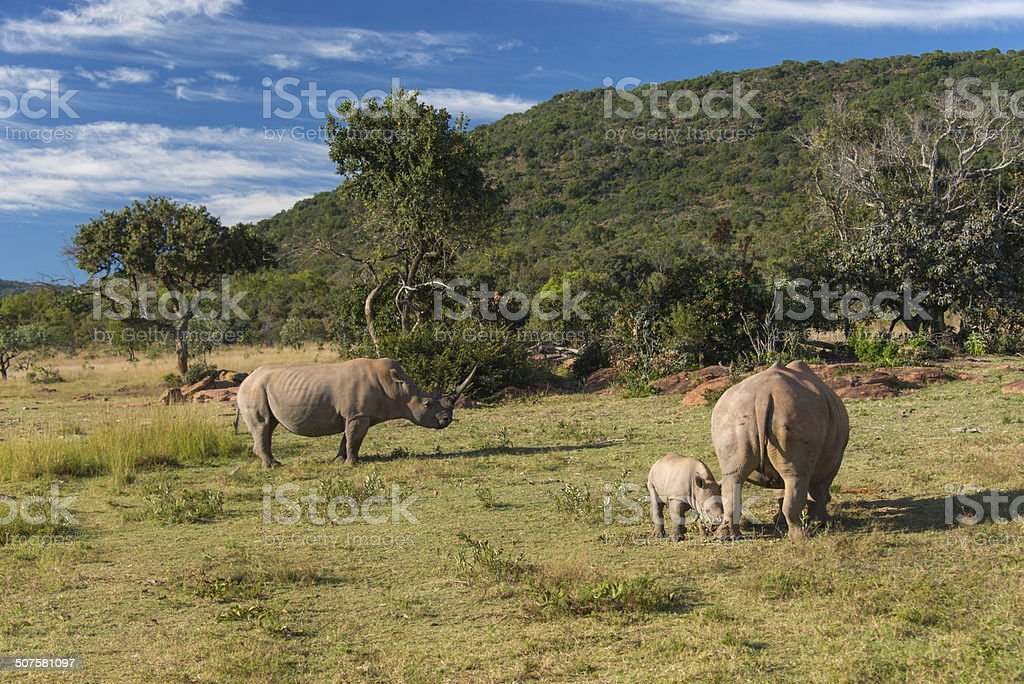Baby Rhino with Parents royalty-free stock photo