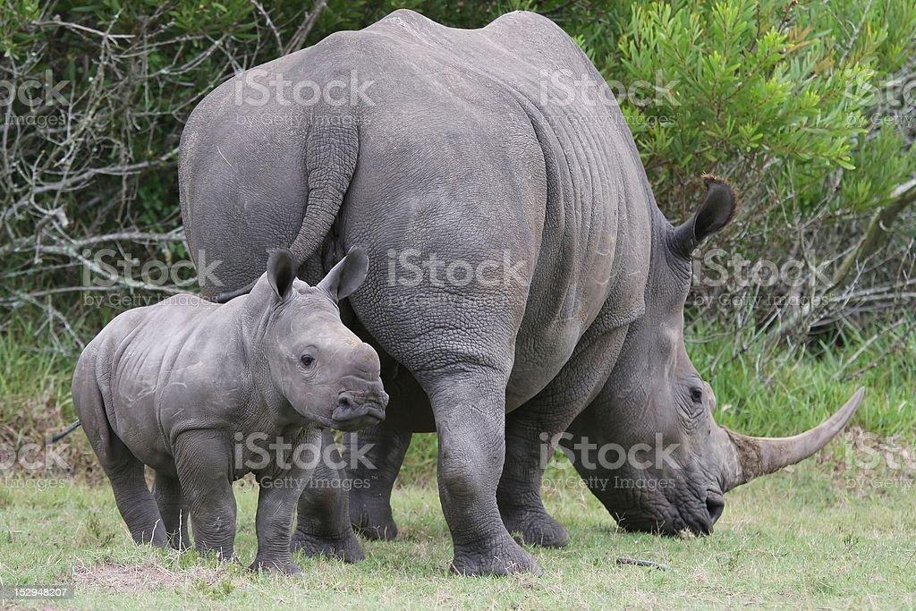 Baby Rhinoceros and Mom stock photo