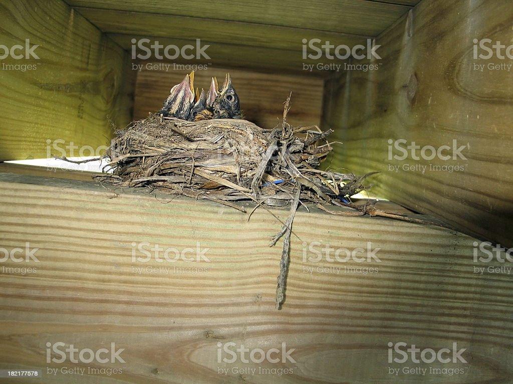 Baby Robins Chicks royalty-free stock photo