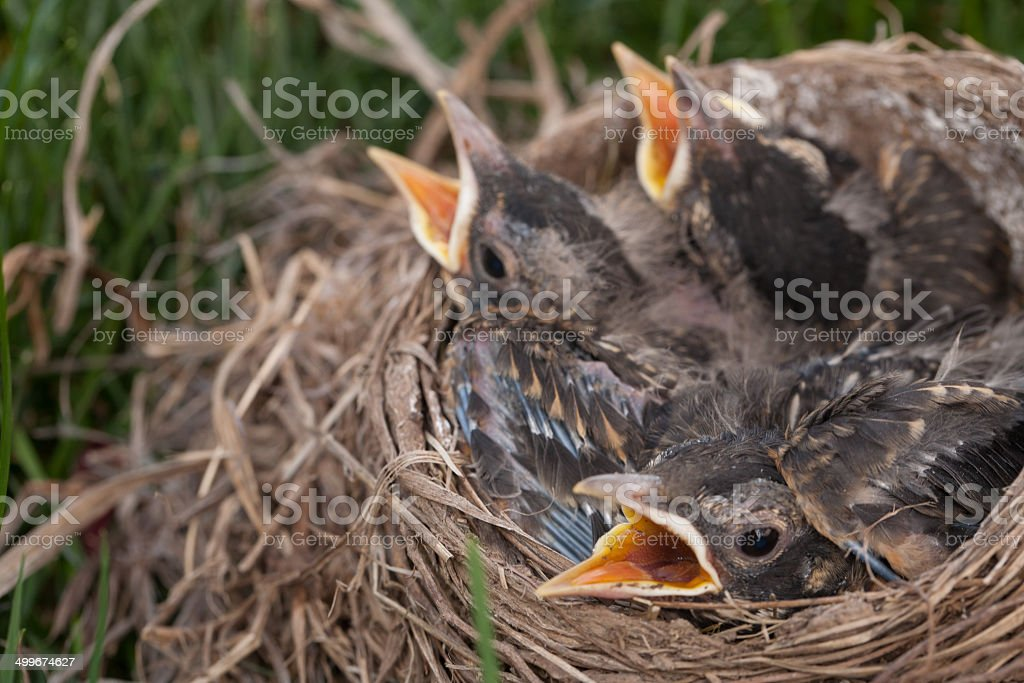 Baby Robins in Nest with Mouths Open royalty-free stock photo
