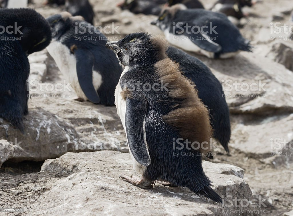 Baby Rockhopper penguin, Falkland Islands, Southern Atlantic Ocean stock photo