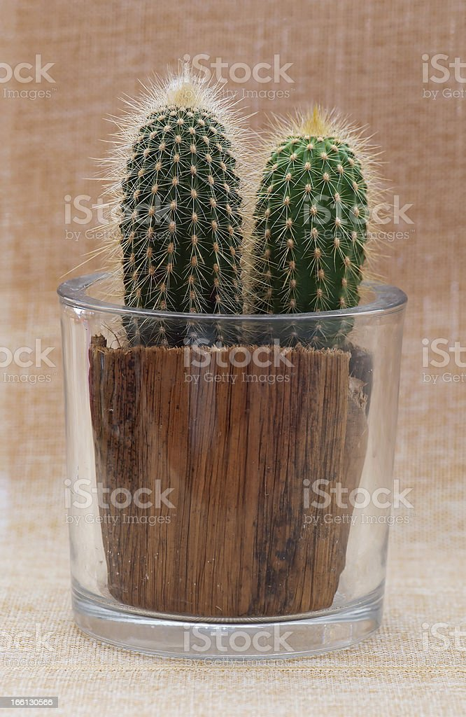 Baby saguaro cactus in a pot royalty-free stock photo