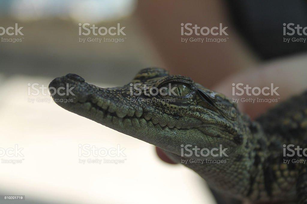 Bébé Crocodile d'eau salée photo libre de droits