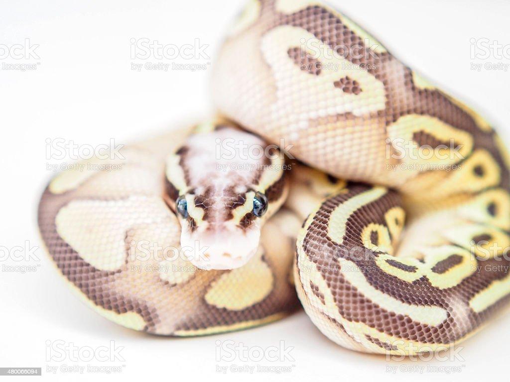 Baby Schlange mit blauen Augen stock photo