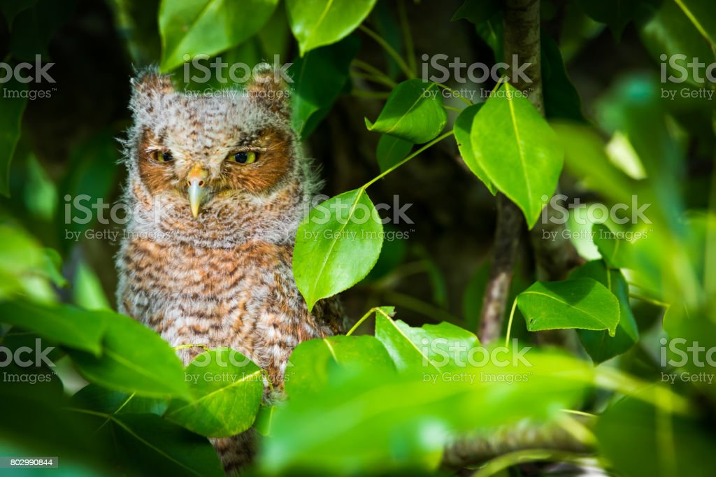 Baby Screech Owl stock photo