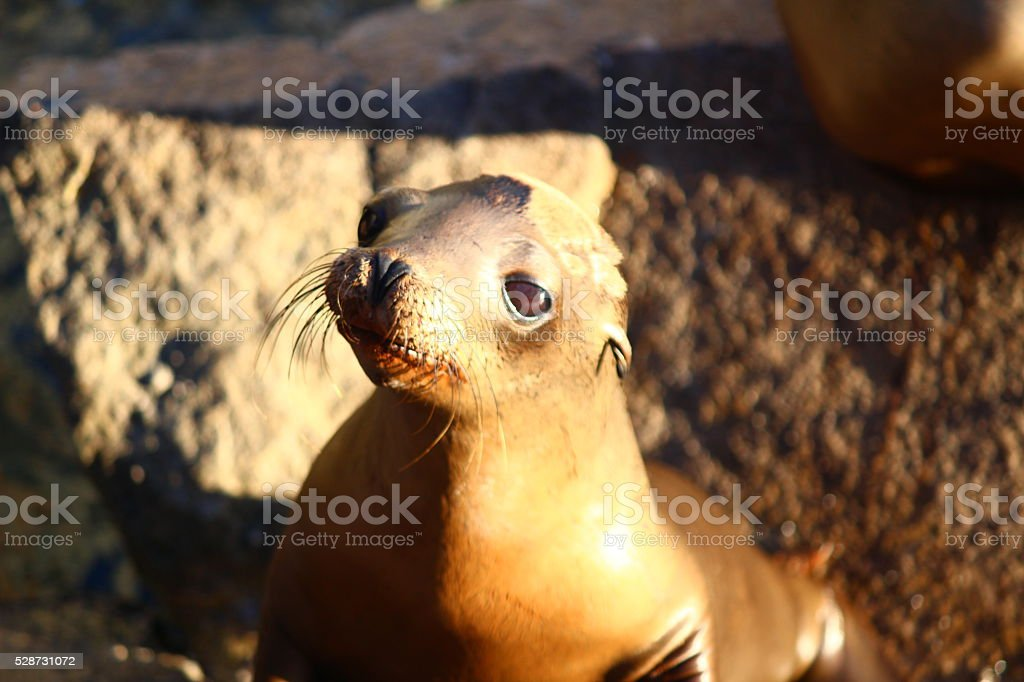 baby sea lion stock photo