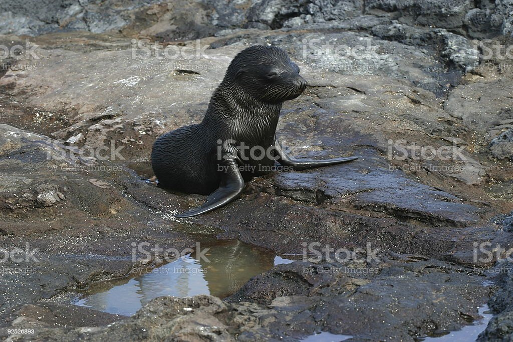 Baby Sea Lion royalty-free stock photo