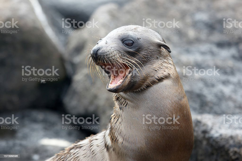 Baby sea lion pup on beach calling stock photo