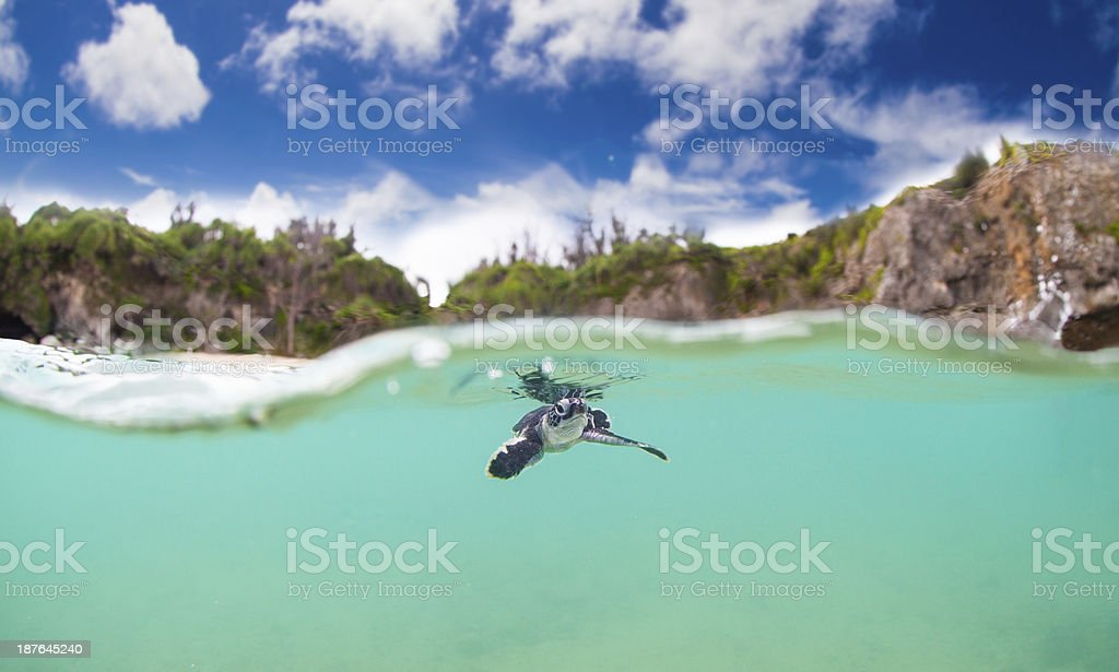 Baby Sea Turtle first time in water stock photo