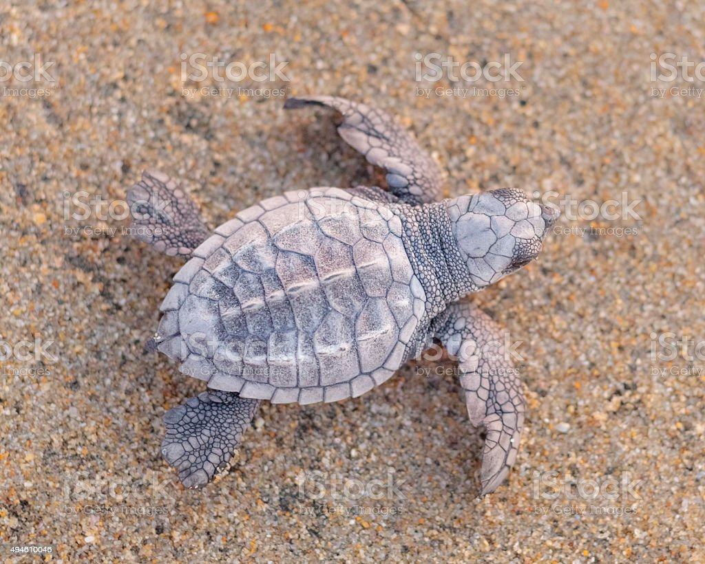 Baby Sea Turtle Hatchling stock photo