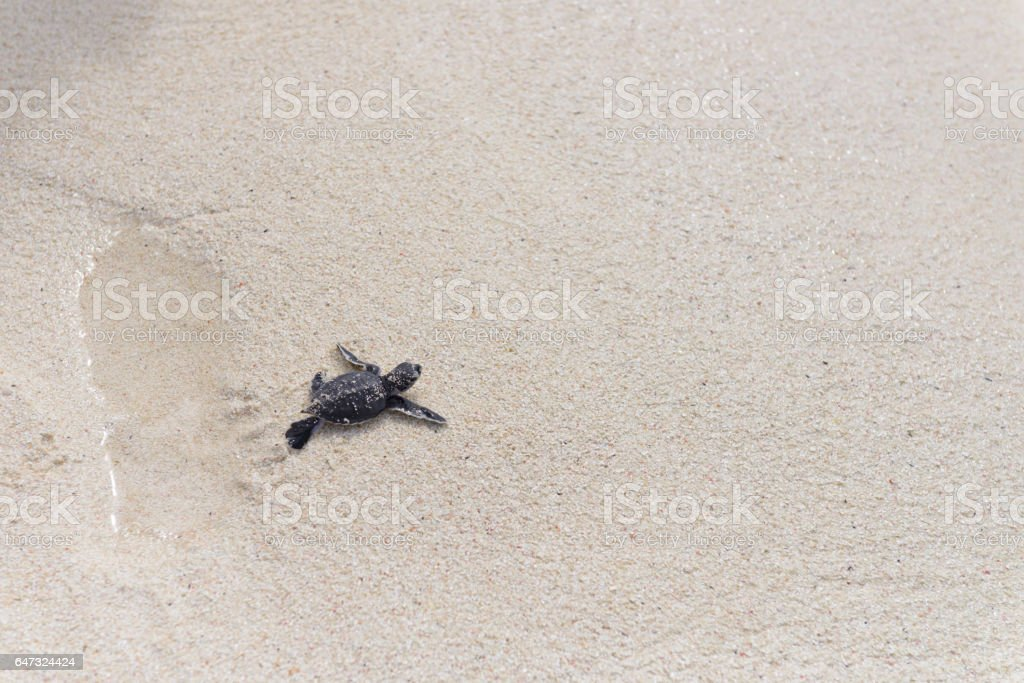 Baby Sea Turtle Running to The Ocean stock photo
