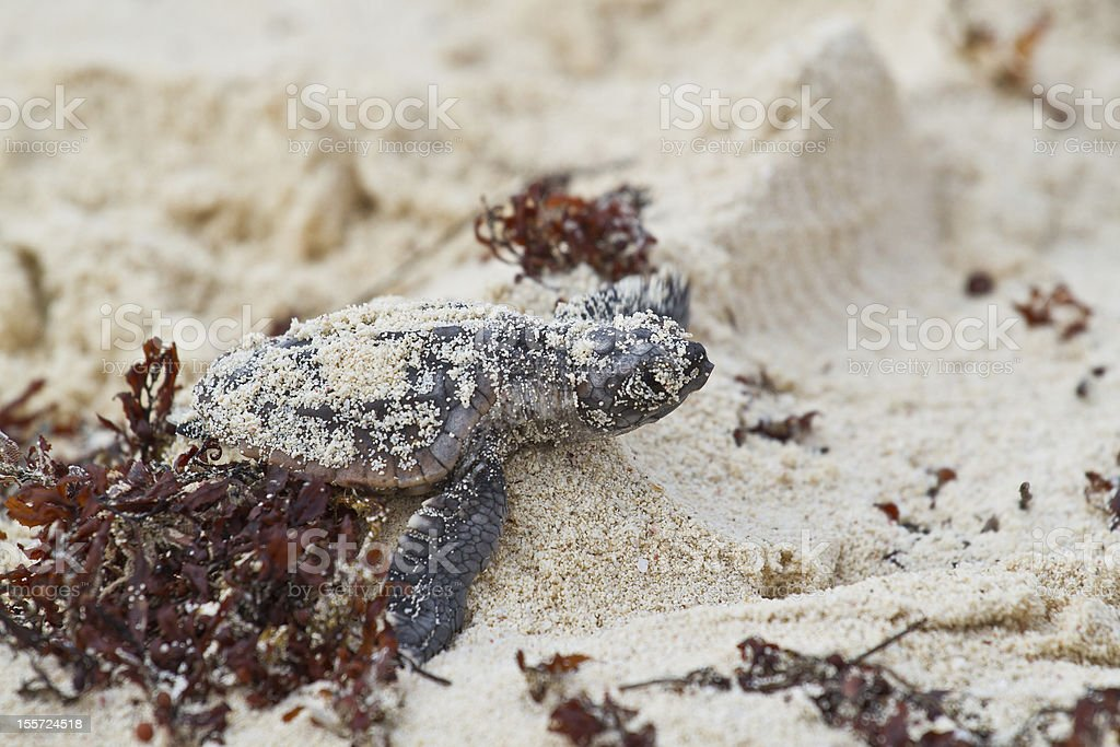 Baby sea turtle struggle royalty-free stock photo
