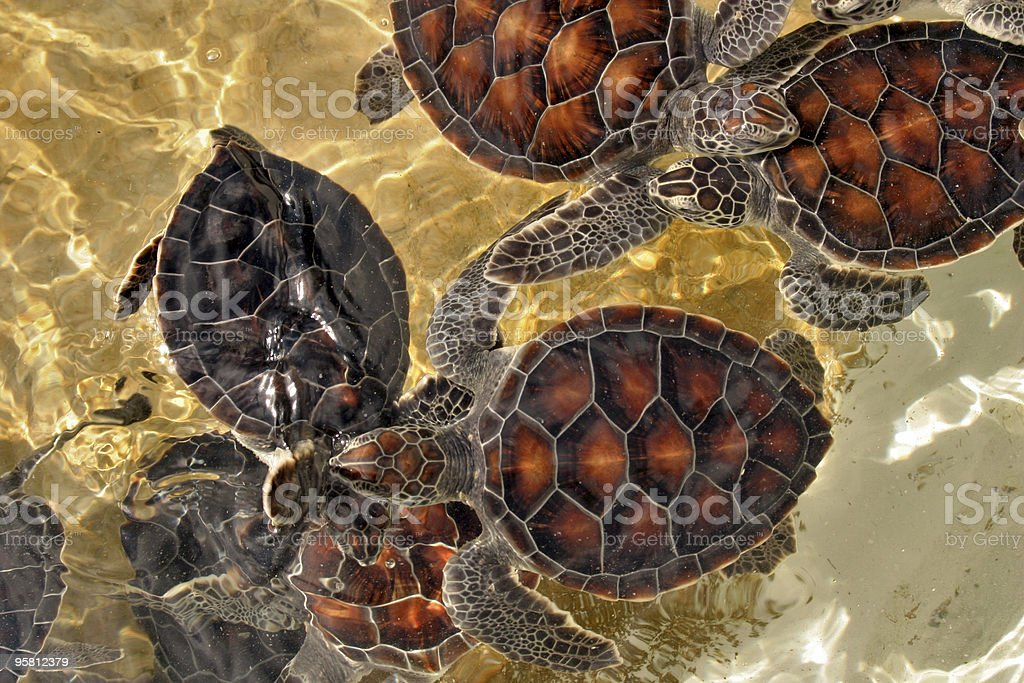 baby sea turtles stock photo