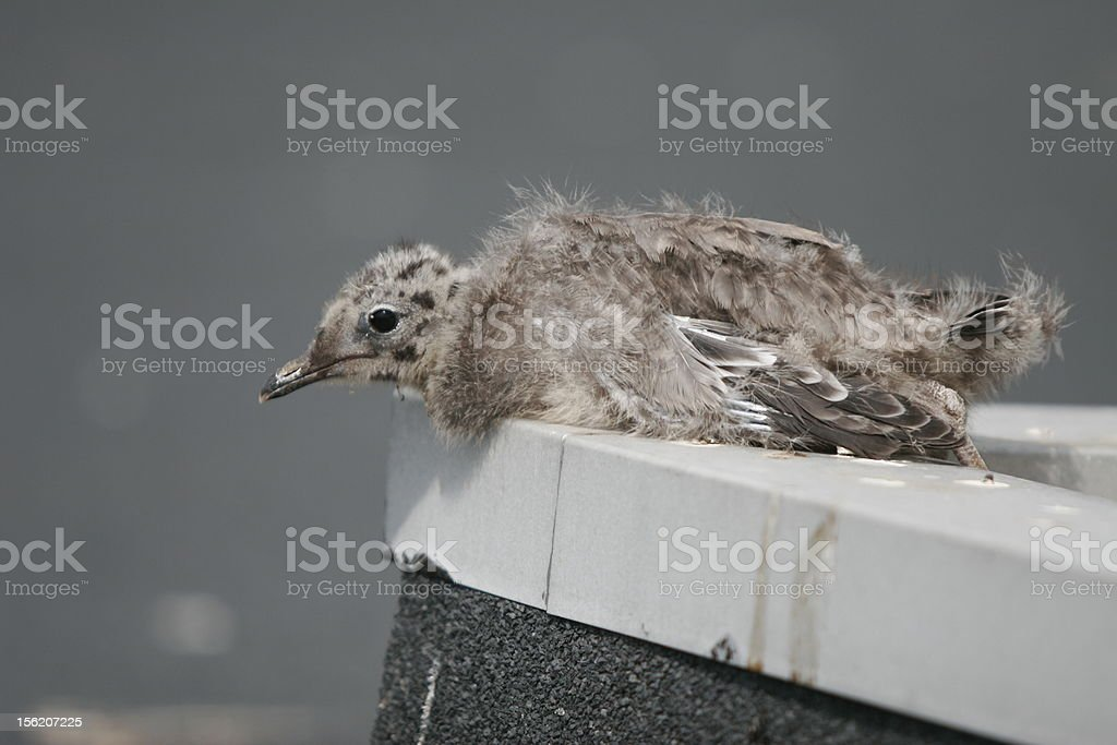 Baby seagull over the edge royalty-free stock photo
