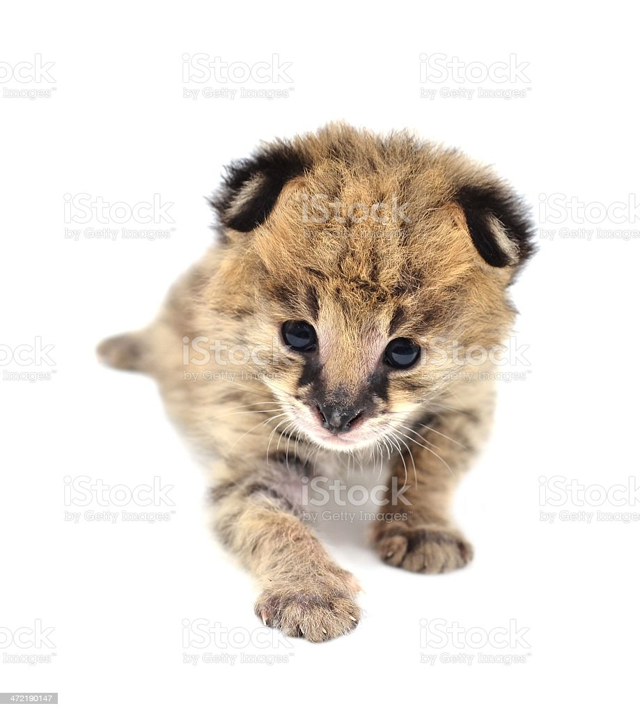 baby serval isolated stock photo