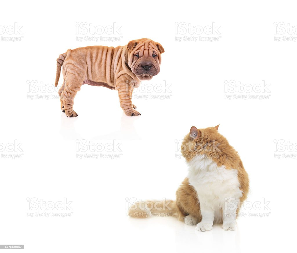 Baby sharpei staring at a cat royalty-free stock photo