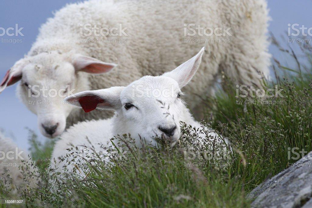 Baby sheep stock photo