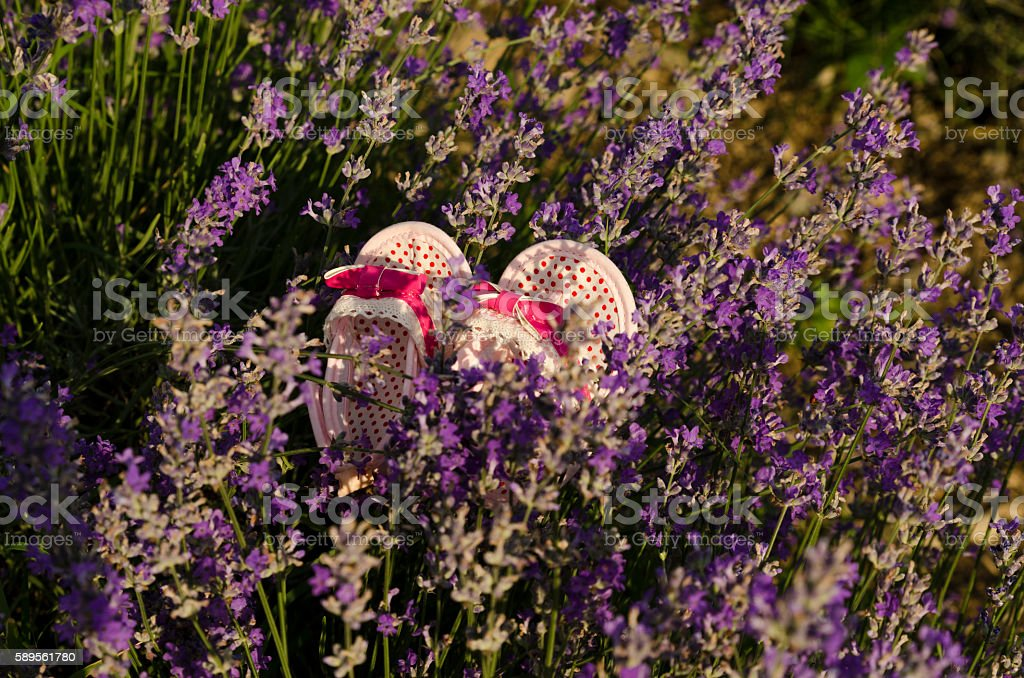 Baby shoes in lavender field stock photo