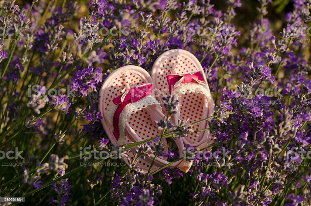 Baby shoes on a lavender stem in a field stock photo