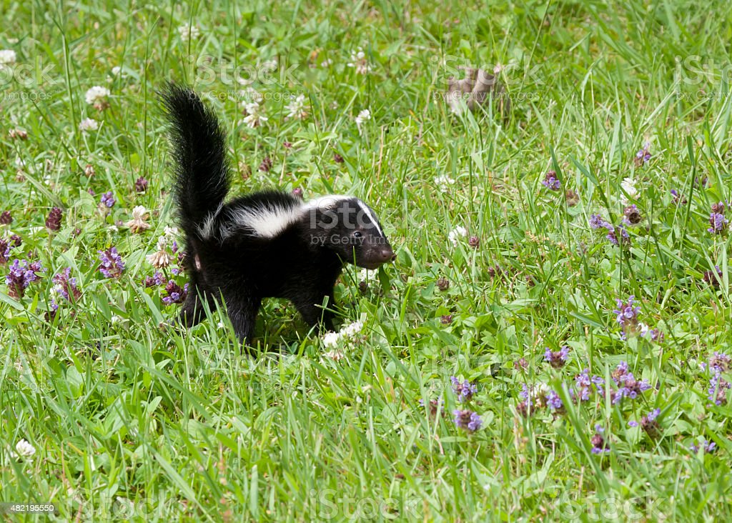 Baby Skunk in a Meadow with Wildflowers stock photo