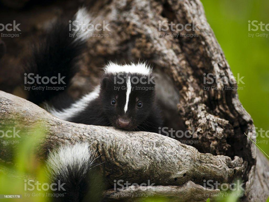 Baby skunk in den. stock photo
