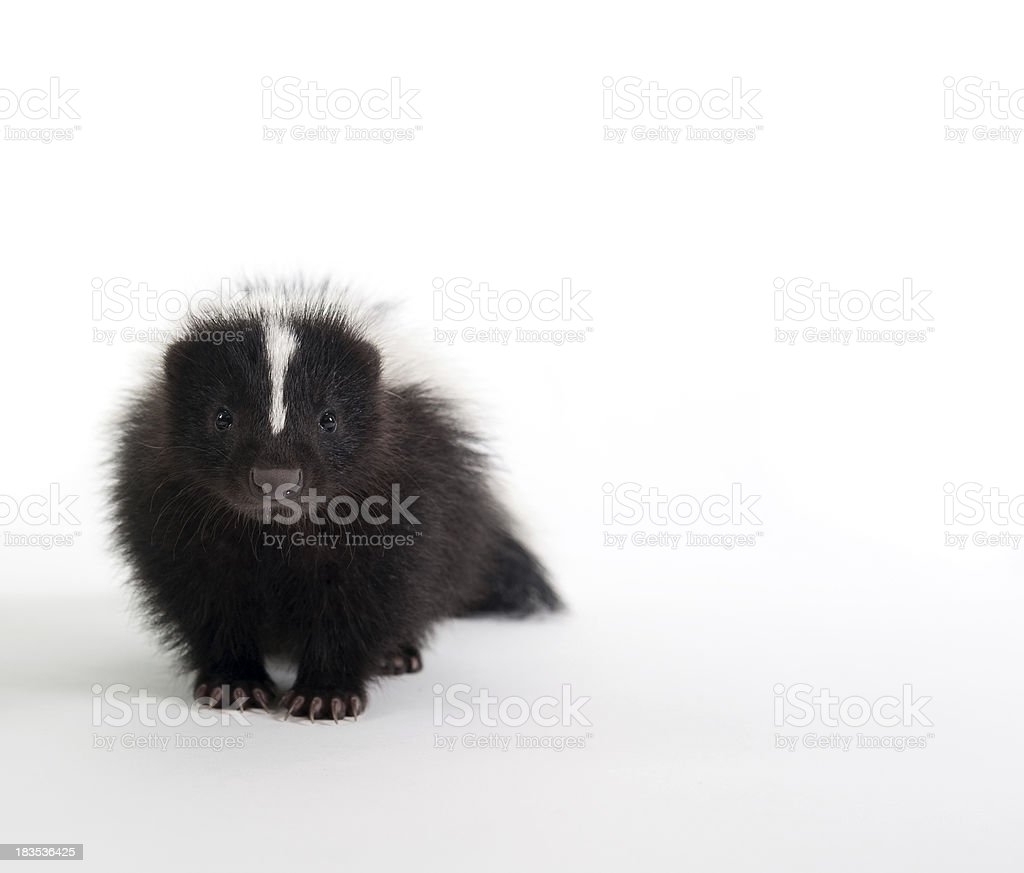 Baby Skunk on white stock photo