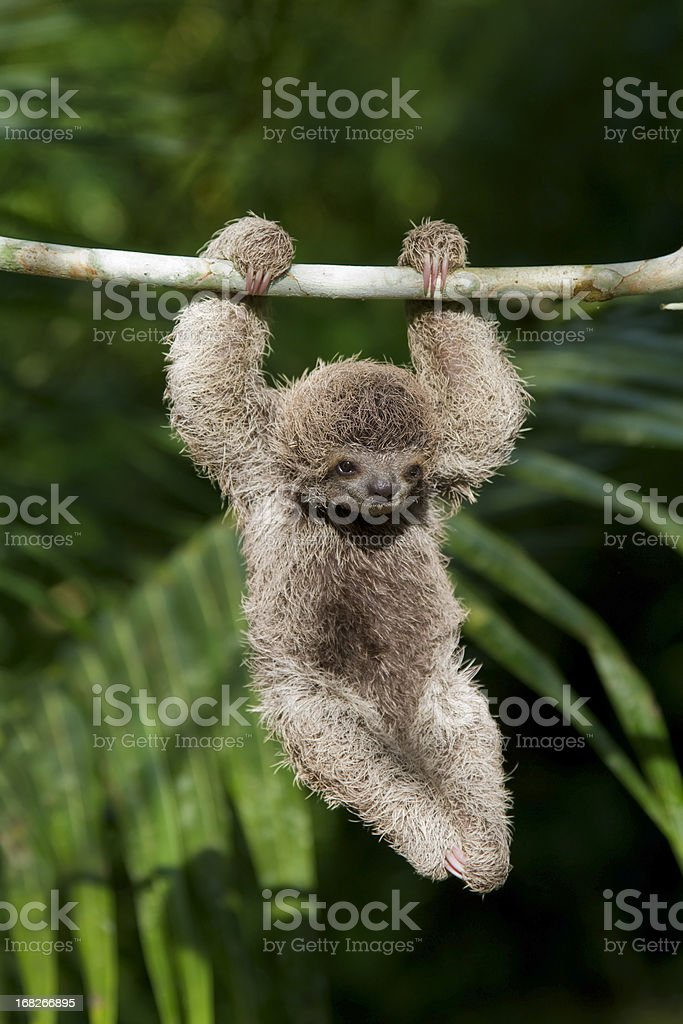 Baby Three Toed Sloth in Costa Rica Rainforest