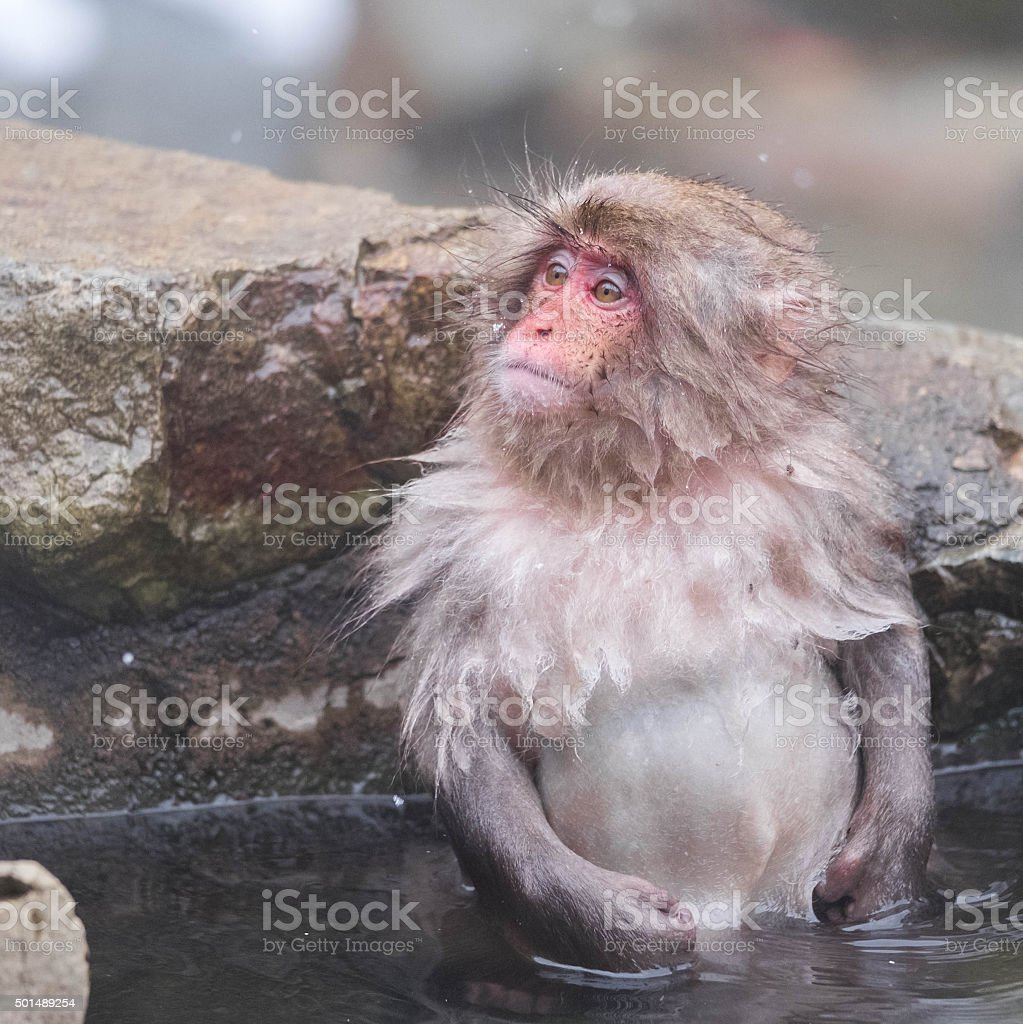 Baby Snow Monkey in the hotspring stock photo