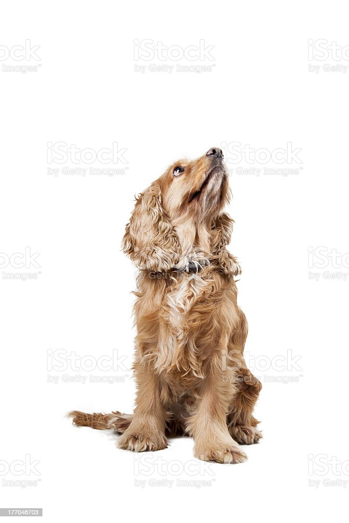 Baby Spanish Cocker royalty-free stock photo