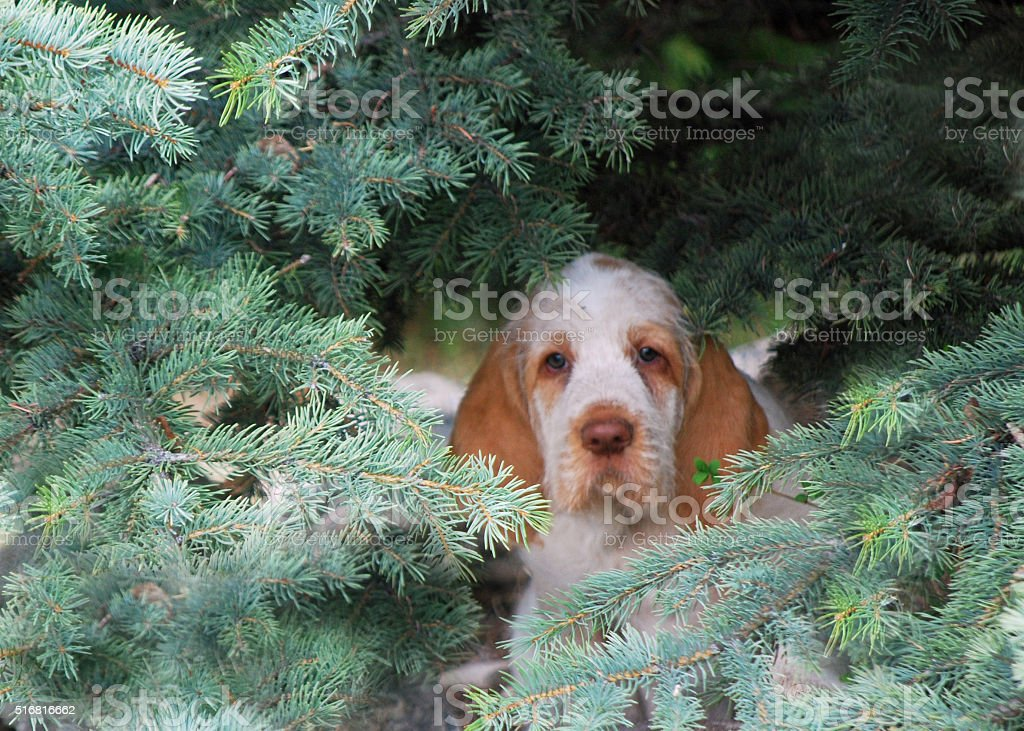 Baby Spinone puppy hiding. stock photo