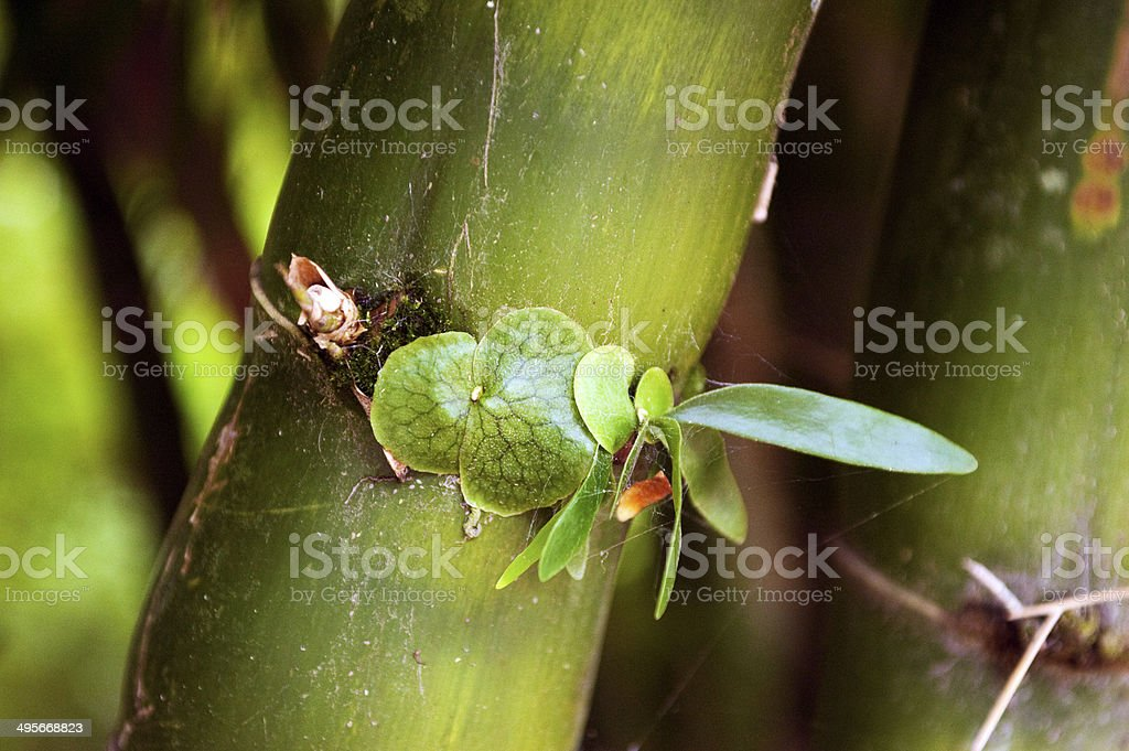 Baby stag horn fern growing on Bamboo stock photo