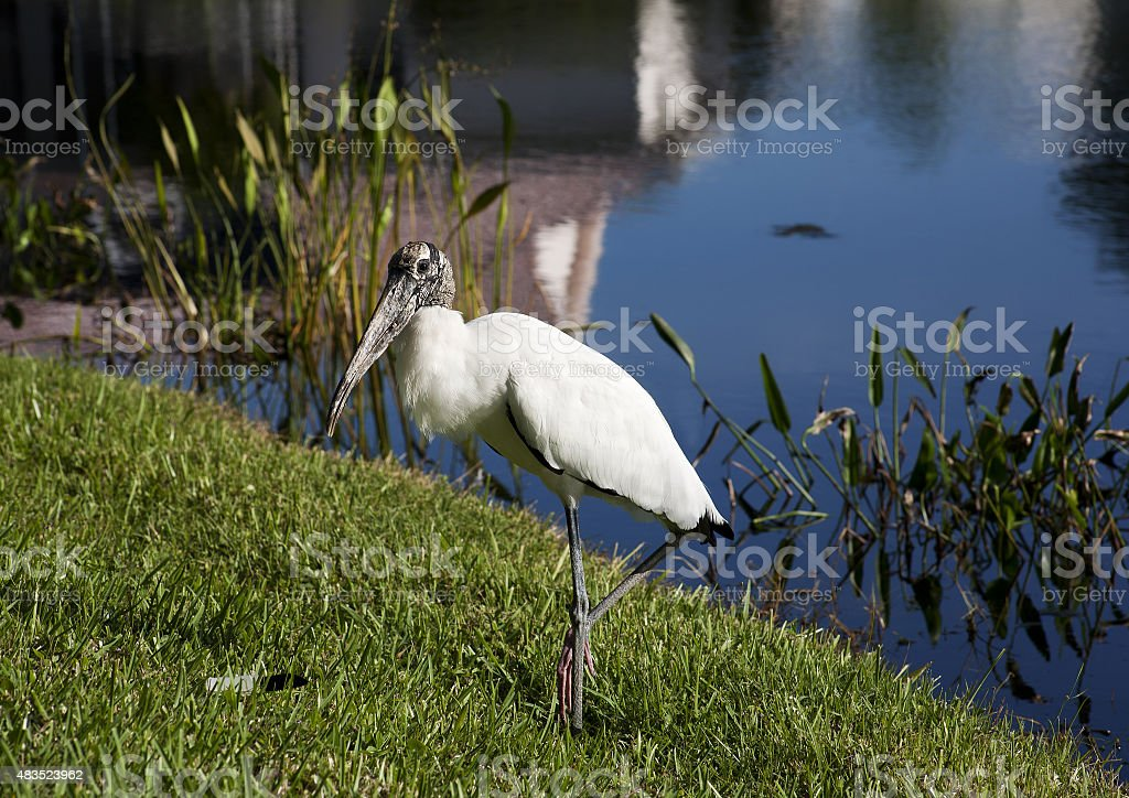 baby storks on a lake in Florida. stock photo