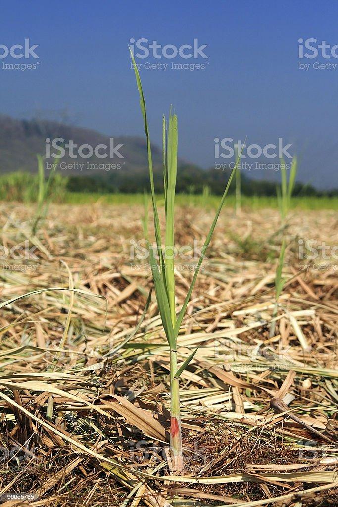 Baby sugar cane plant royalty-free stock photo