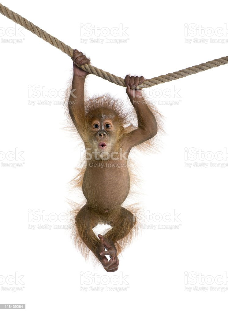 Baby Sumatran Orangutan hanging on a rope against white background stock photo