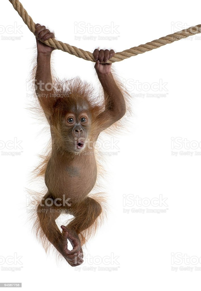 Baby Sumatran Orangutan hanging on rope against white background stock photo