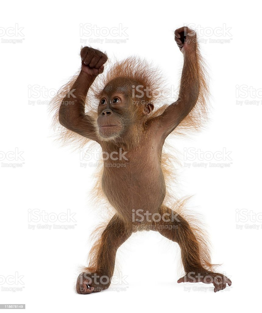 A baby Sumatran orangutan in front of a white background stock photo
