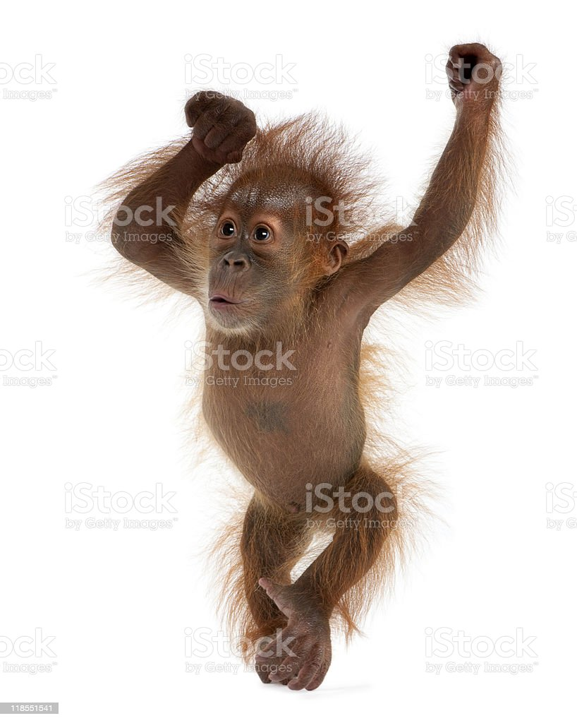 Baby Sumatran Orangutan standing in front of white background stock photo