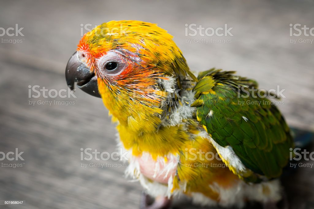 Baby Sun Conure Parrot on the wooden background stock photo