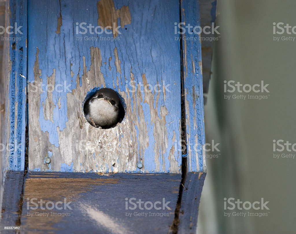 Baby Swallow royalty-free stock photo