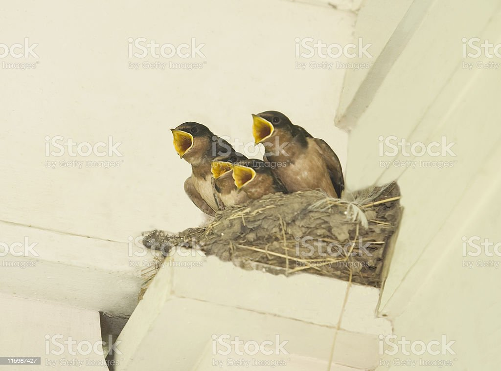 Baby Swallows royalty-free stock photo