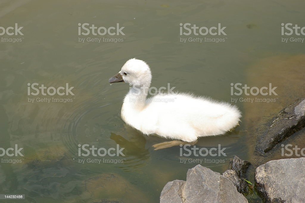 Baby Swan royalty-free stock photo
